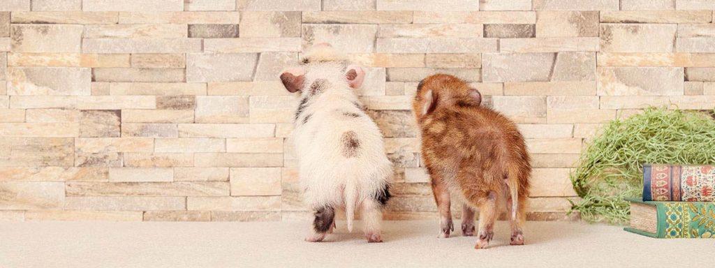 maialini attesa