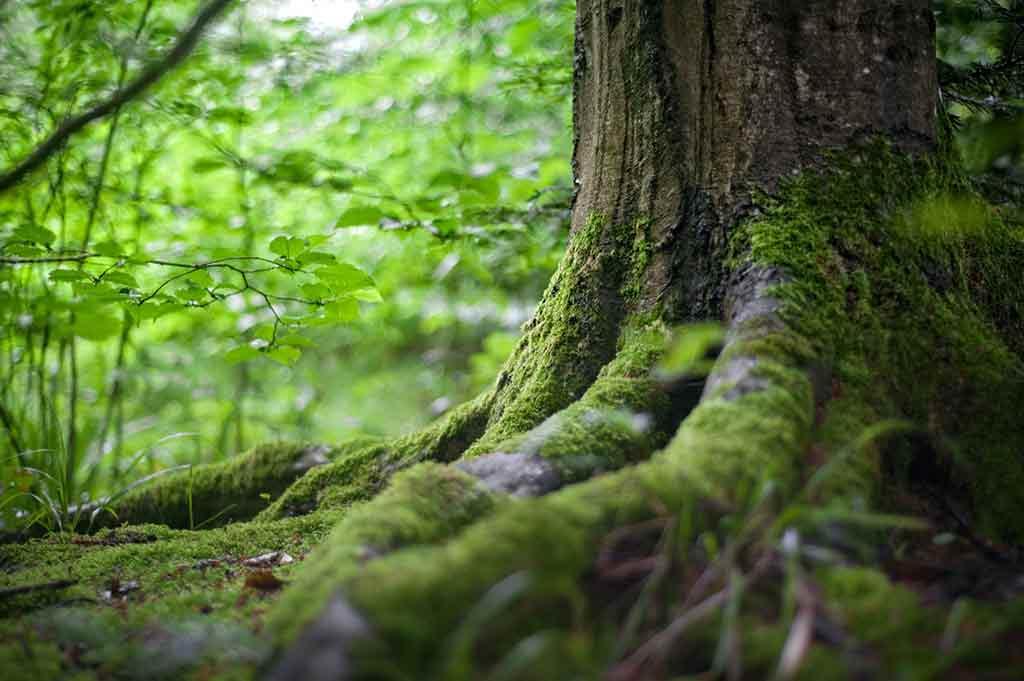 verdi radici